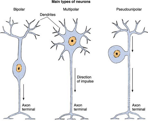 Different Types Of Neurons Pictures to Pin on Pinterest - PinsDaddy